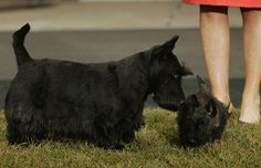 Scottish Terriers Latest News, Photos and Videos | POPSUGAR Pets