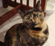 ZELDA is an adoptable Tortoiseshell Cat in Swartz Creek, MI. ZELDA  PetSmart- Grand Blanc- ZELDA is 11 months, littertrained, and is very good with other cats & dogs. She is a talker She loves to sit ... Swartz Creek, Tortoiseshell Cat, Paws Rescue, Is 11, Tortoise Shell, Dog Cat, Adoption, Zelda, Pets