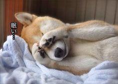 日本人の柴犬への過剰評価は異常:ハムスター速報