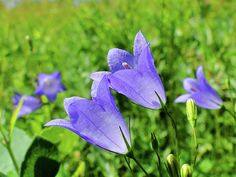 Hairbell Photograph - Hairbell - Campanula Rotundifolia by Blair Wainman