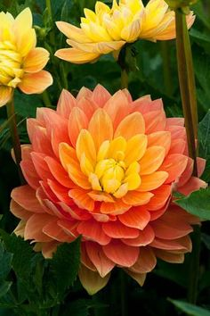 Dahlia 'Olivia Mari' I will have this in my flower bed one of these days I promis Amazing Flowers, My Flower, Beautiful Flowers, Orange Flowers, Colorful Flowers, Gladiolus, Trees To Plant, Beautiful Gardens, Planting Flowers