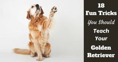 So you went out and got yourself a Golden Retriever. And who can blame you? Smart, friendly,...
