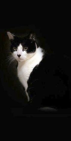 black and white tuxedo cat | Very cool photo blog\/ aristocratic cats More