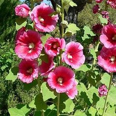 Check out the deal on Alcea (Hollyhock) rosea Henry Eight Pink 250 seeds at Hazzard's Seeds Albizia Julibrissin, Planting Seeds, Planting Flowers, Hollyhocks Flowers, Gardening Magazines, White Plants, Pink Plant, Mother Plant, Malva