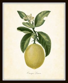 Botanical Art Print French Fruit and Vegetable Series Plate 337 Oranger Limon 8 x 10, Etsy.