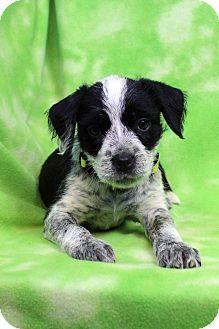 Westminster, CO - Australian Shepherd Mix. Meet Molly, a puppy for adoption. http://www.adoptapet.com/pet/15197797-westminster-colorado-australian-shepherd-mix
