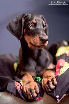 #Doberman #Pinscher #Puppy