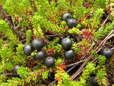 In northern Greenland, the ground is covered with a variety of low-lying plants including crowberries (mpetrum nigrum).