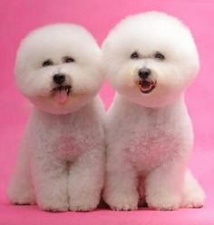 Caniches gemelos