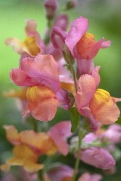 Antirrhinum majus, 'Orange Wonder' Seeds £1.64 from Chiltern Seeds - Chiltern Seeds Secure Online Seed Catalogue and Shop
