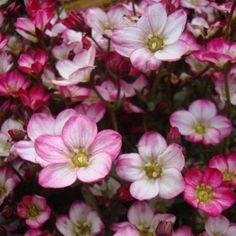 Skalnica arendsa 'Ice Colours Strawberry Creme' Saxifraga arendsii| Albamar