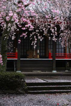 SAKURA by Yuki Tajiri on 500px