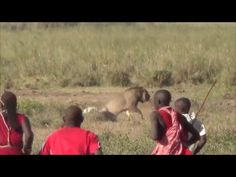 Man vs Lions. Maasai Men Stealing Lion's Food Without a Fight. - YouTube
