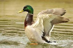 Mallard duck facts, photos, habitat information, and tips for hunting mallards from American Expedition. Duck Information, Pekin Duck, Duck Drawing, Wildlife Paintings, Mallard, Watercolor Animals, Habitats, Birds, Drawings