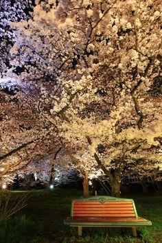 京都府立植物園の華やかな夜桜ライトアップ