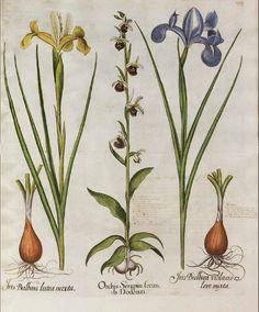 139009 Iris xiphium Desf. [as Iris bulbosa violaceo colore mixta] [syn. Iris xiphia St.-Lag.] / Bessler, Basilius, Hortus Eystettensis, vol. 2: Quartus ordo collectarum plantarum aestivalium, t. 199, fig. III (1620) [B. Besler]