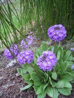Primula - www.aagesenshave.dk