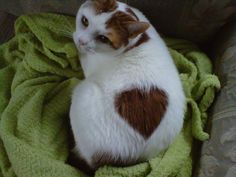 cat with heart spot