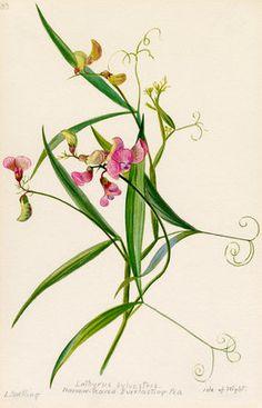 Lilian Snelling -- Lathyrus sylvestris, narrow-leaved everlasting pea. -- Lilian Snelling -- Artists -- RHS Prints