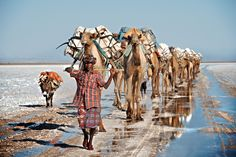 Danakil salt caravan - A camel train carrying blocks of salt from Dallol in the Danakil desert to trade in an eight day cycle with the highlands of Ethiopia. The Danakil is 120 metres below sea level and the hottest place on Earth