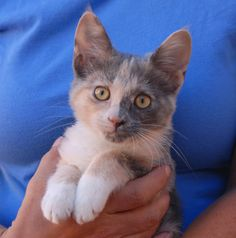 Belinda and 30 more rescued kittens are ready for adoption this morning at Nevada SPCA (www.nevadaspca.org)!  Belinda likes cuddling in your lap, making 'happy feet', and purring while you talk sweetly to her.  She is a blue & cream & white (dilute calico) shorthair kitten, 4 months of age, spayed, and good with other cats.  Belinda has been socialized in a loving foster home with cats, dogs, and kids since her rescue.