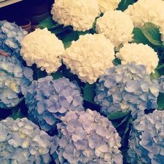 Hydrangea my grandmother had these beautiful flowers outside her house in Bunnell Fl.