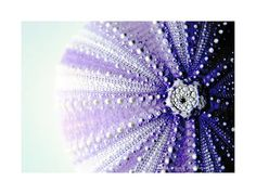 Purple sea urchin!