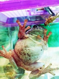 One of our Whites tree frogs! More info about these frogs: nationalzoo.si.ed...