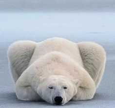 Polar Bear Lying Down Like A Cat