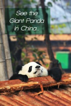 Travel tips to see the Giant Panda in China