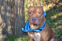 ★STILL THERE 12/11/14!!!★SUPER-URGENT 11/21/14 ★THIS POOR LITTLE BOY NEEDS A HERO! HE CAME IN SICK- THEY WON'T SPARE HIM A SECOND TIME!!!★Staten Island Center-P  My name is MICKEY. My Animal ID # is A1020508. I am a male red and white pit bull mix. The shelter thinks I am about 2 YEARS  I came in the shelter as a STRAY on 11/13/2014 from NY 10303, owner surrender reason stated was STRAY.