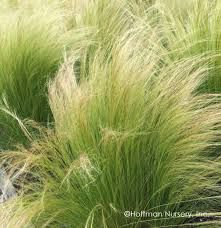 A cool-season native grass. Mexican Feather Grass is the most fine-textured grass we grow. Wispy lime-green foliage sways in the slightest breeze. Xeriscape California, California Garden, Ornamental Grass Landscape, Ornamental Grasses, Landscape Grasses, Evergreen Landscape, Perennial Grasses, Flowers Perennials, Shade Perennials