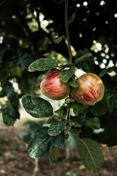 Late summer apples by Mónica Isa Pinto, via Flickr