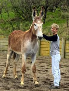 If you thought donkeys were little, you will be amazed at this hubpages article about Mammoth Donkeys - the largest breed of Donkey in the World. I could not believe it! Some of them are as tall as a Shire Horse!