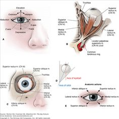A. Movements of the eyeball. Extraocular muscles of the right eye; (B) superior and (C) anterior views. D. Axes of the eyeball and orbit