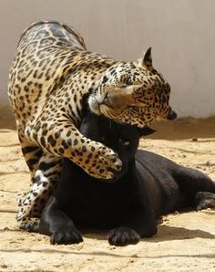 Jaguar and panther Big Cats, Crazy Cats, Cool Cats, Animals And Pets, Funny Animals, Cute Animals, Baby Animals, Wild Animals, Baby Elephants