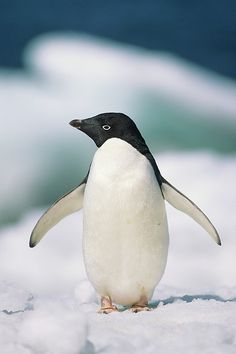 Love penguins!