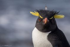 Pinguino penacho amarillo, Isla Pinguinos, Puerto Deseado