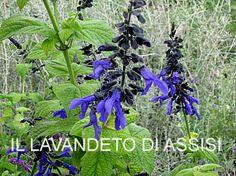 Salvia-officinalis-e-salvie-ornamentali-coltivazioni-SALVIA G.jpg (351×263)