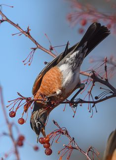 Cedar Waxwing, American Robin, Entrance Sign, Winter Camping, Small Trees, Page 3, Almost Always, Robins, Red Background