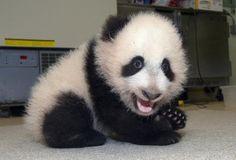 Panda cub. Hi baby!
