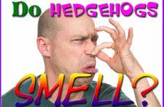 Do Hedgehogs Smell?