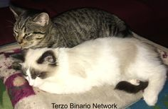 CESATE (MI): SMARRITO ROMEO, GATTO TIGRATO http://www.terzobinarionetwork.com/2016/11/cesate-mi-smarrito-romeo-gatto-tigrato.html