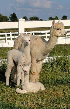 Cute Baby Animals, Farm Animals, Animals And Pets, Lovely Creatures, Woodland Creatures, Llamas, Cute Llama, Llama Alpaca, Animal Kingdom