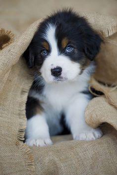 Australian Shepherd # great eyes # so cute # www.fdmre.com