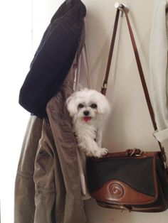 See who's in the fitting room with me! Cutest maltese dog!