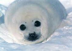 Cute baby seal needs your help! Spread the message Share to everyone! Baby Harp Seal, Baby Seal, Mundo Animal, My Animal, Foca Animal, Animals And Pets, Cute Animals, Cute Seals, Fauna Marina