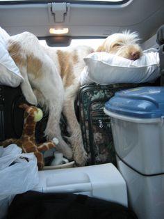 Picture of Cacciatore de Dell Creek, a Spinone Italiani dog on Dogster