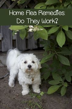 Flea And Tick Home Remedies Do They Work