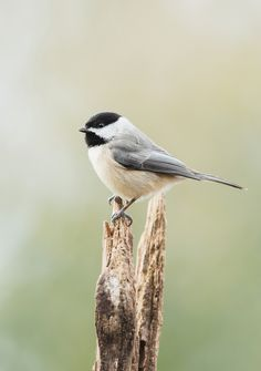 Carolina Chickadee | by ShenandoahNPS Wild Animals Photography, Nature Photography, Pretty Birds, Beautiful Birds, Interactive Fiction, Chickadees, Outdoor Photos, Bird Drawings, Birds Eye View